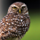 Burrowing Owl Festival
